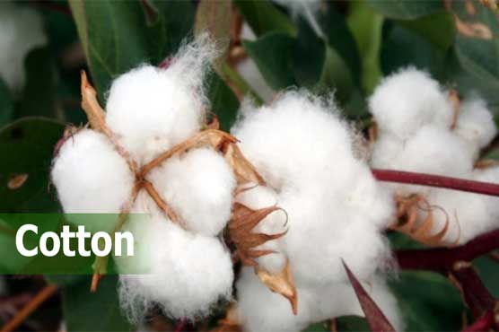 Cotton scientists urge special care to avoid pink bollworm, white flies